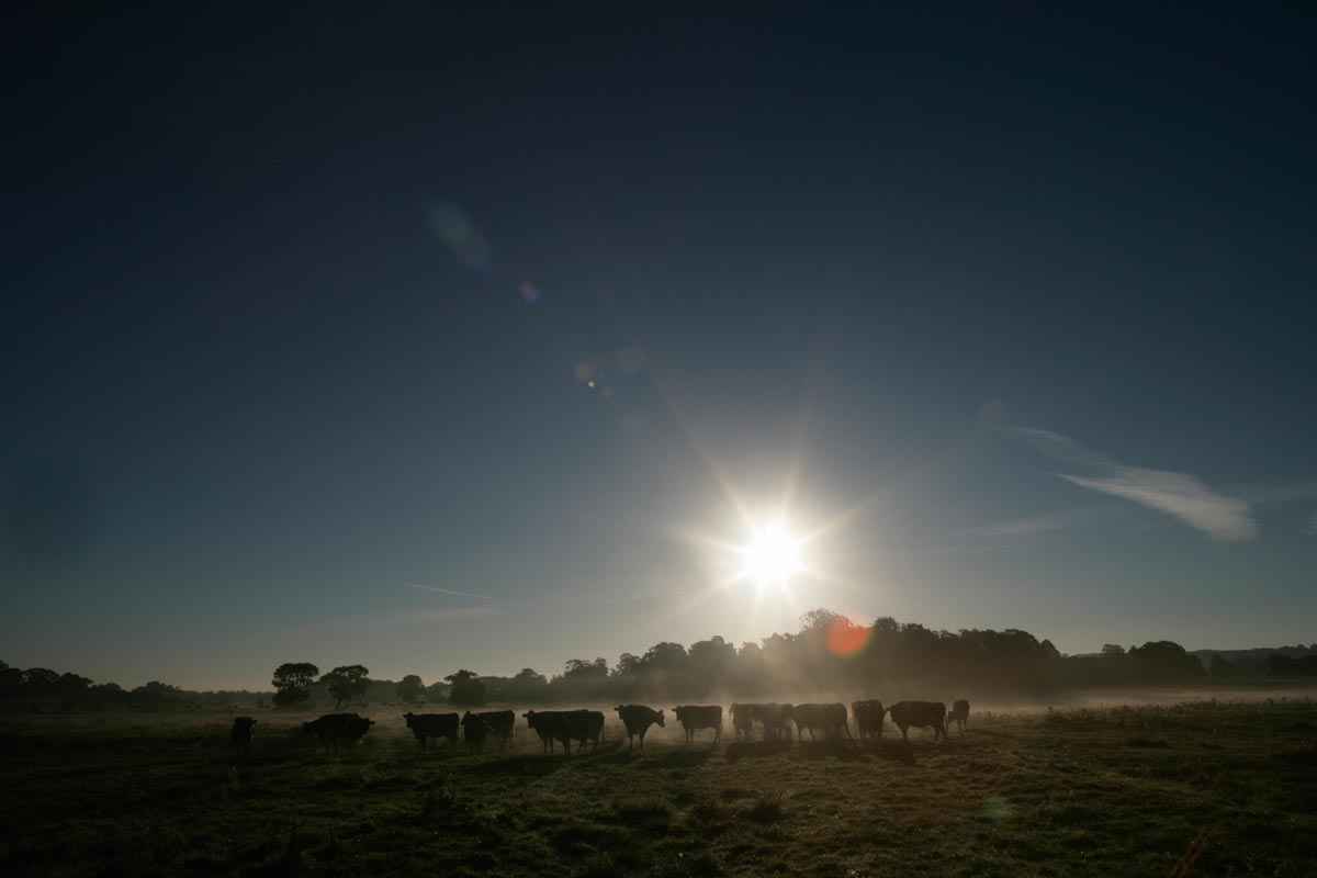 Herd of dairy cows in a Cheshire farming field with a misty sunrise scene in the background.