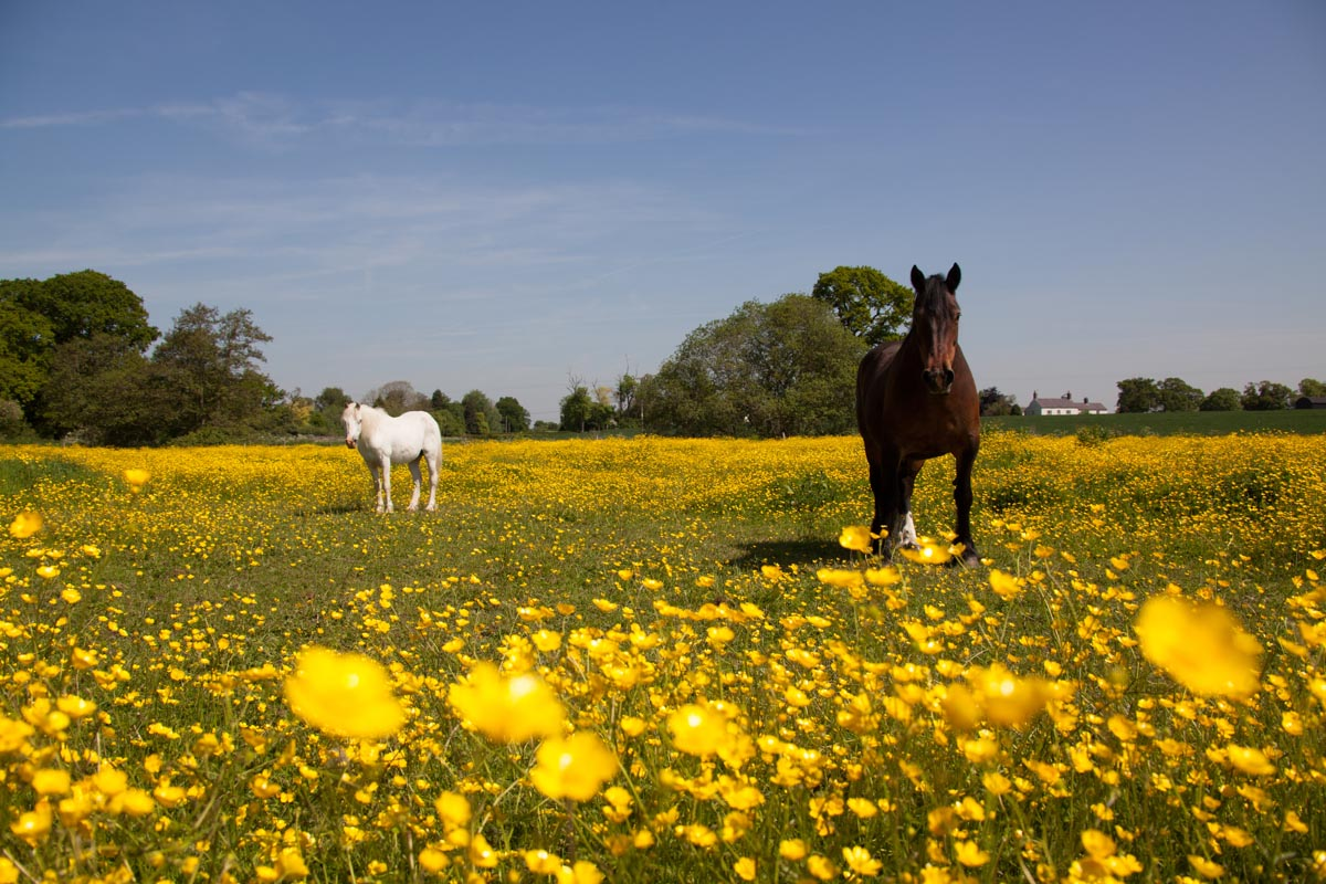 Picturesque early summer view of two horses in a Cheshire field.
