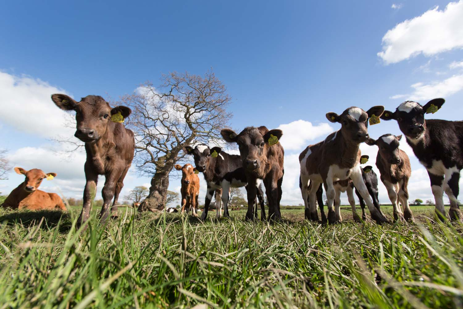 Village of Handley, England. Picturesque spring view of calves grazing in a field near the Cheshire village of Handley.