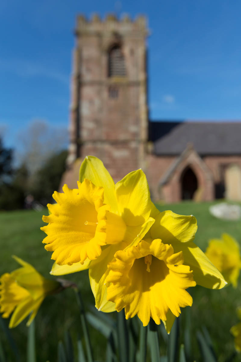 Picturesque spring view of daffodils in full bloom, with Handley's All Saints Church out of focus in the background. Although the site has been used for religious worship for over 900 years, parts of the current structure date from 1512. The church tower and hammerbeam roof were reused in the 1854 James Harrison restoration.